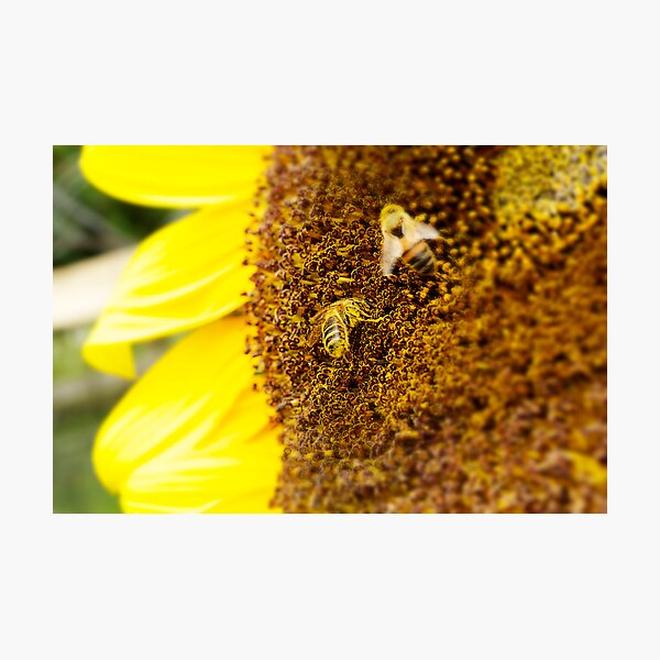 SUNFLOWER AND BEES Photographic Print