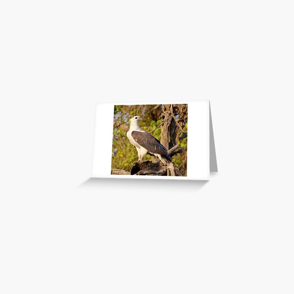NT ~ RAPTOR ~ White-bellied Sea Eagle by David Irwin 071119 Greeting Card