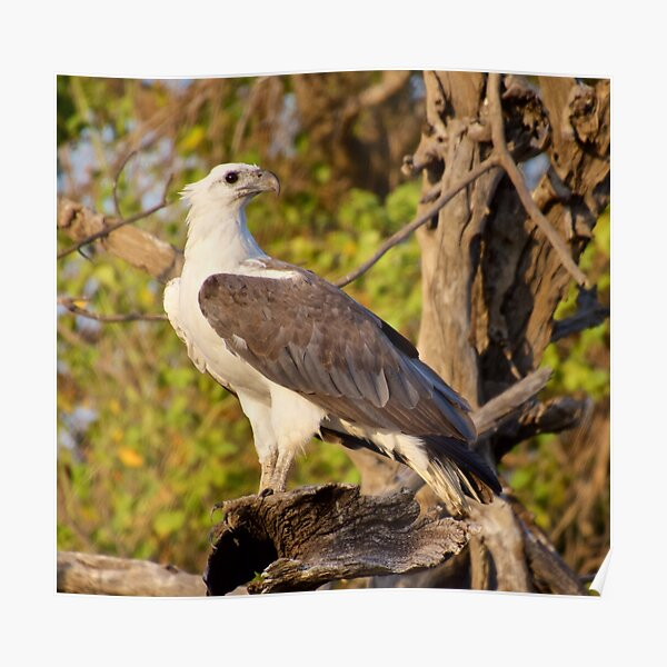 NT ~ RAPTOR ~ White-bellied Sea Eagle by David Irwin 071119 Poster