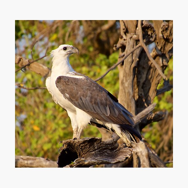 NT ~ RAPTOR ~ White-bellied Sea Eagle by David Irwin 071119 Photographic Print