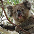 Koala (Phascolarctos cinereus) - Horsnell Gully, South Australia by Dan Monceaux