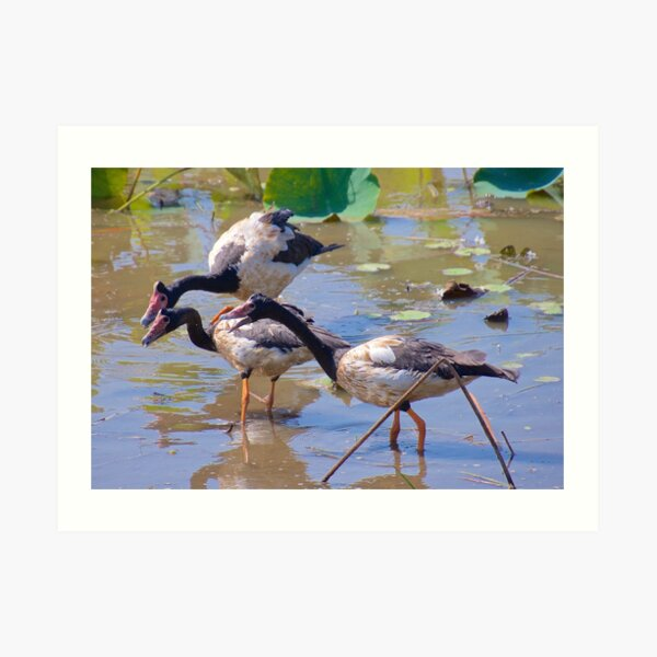 NT ~ WATERFOWL ~ Magpie Goose GH9M92YS by David Irwin 071119 Art Print