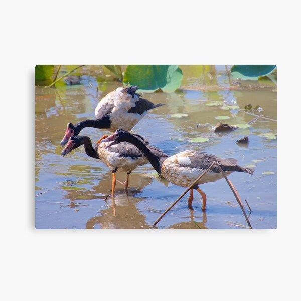 NT ~ WATERFOWL ~ Magpie Goose GH9M92YS by David Irwin 071119 Metal Print