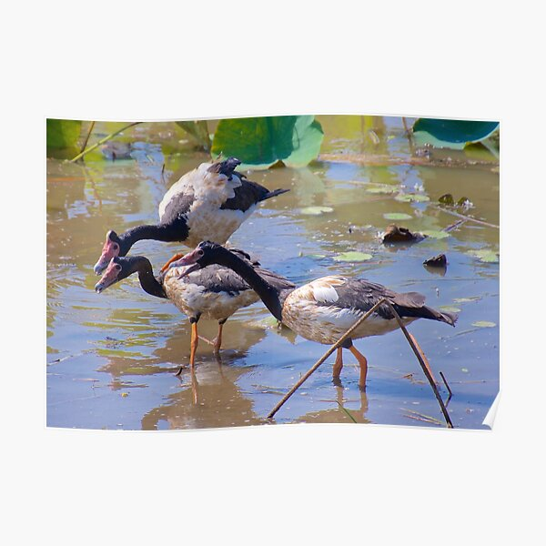 NT ~ WATERFOWL ~ Magpie Goose by David Irwin 071119 Poster