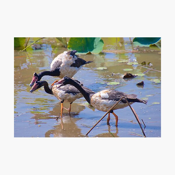 NT ~ WATERFOWL ~ Magpie Goose by David Irwin 071119 Photographic Print