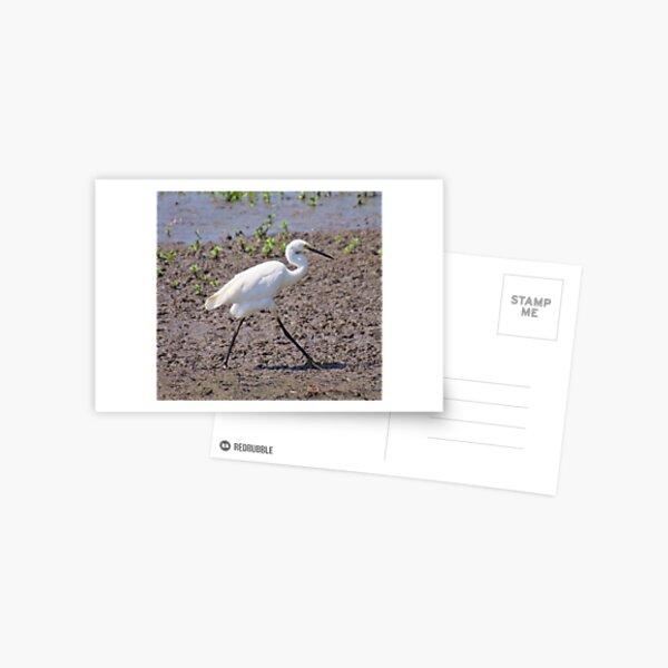NT ~ WADER ~ Little Egret by David Irwin 071119 Postcard