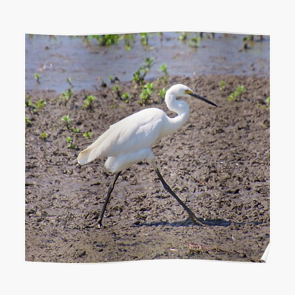 NT ~ WADER ~ Little Egret by David Irwin 071119 Poster