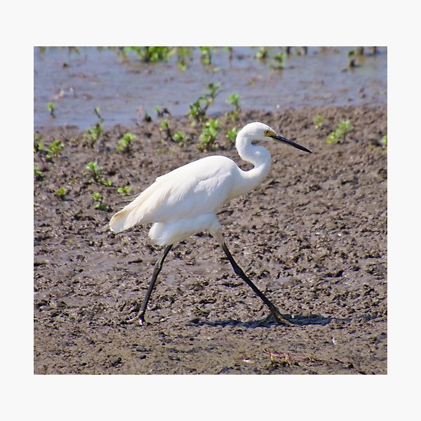 NT ~ WADER ~ Little Egret by David Irwin 071119 Photographic Print
