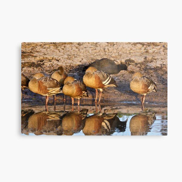NT ~ WATERFOWL ~ Plumed Whistling Duck and Dusky Moorhen by David Irwin 071119 Metal Print