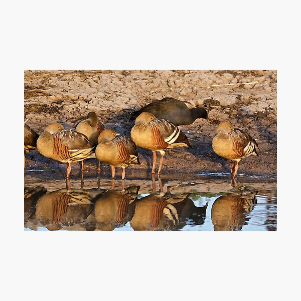 NT ~ WATERFOWL ~ Plumed Whistling Duck and Dusky Moorhen by David Irwin 071119 Photographic Print