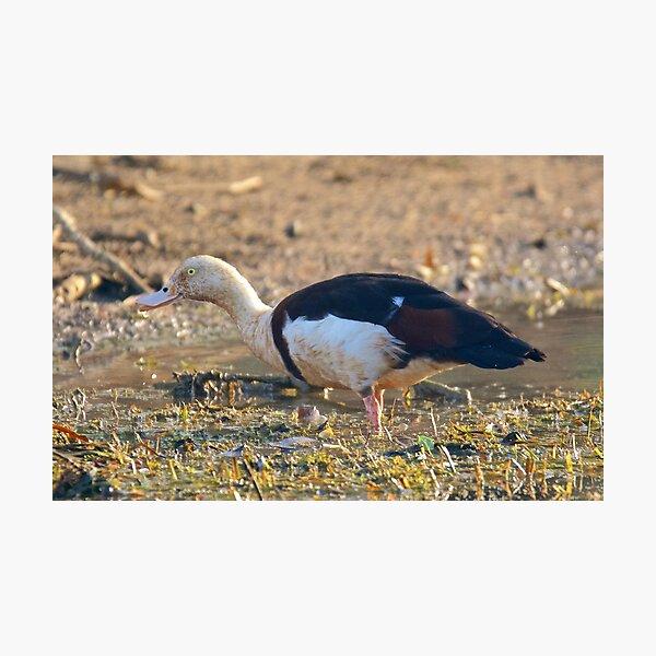 NT ~ WATERFOWL ~ Radjah Shelduck by David Irwin 071119 Photographic Print