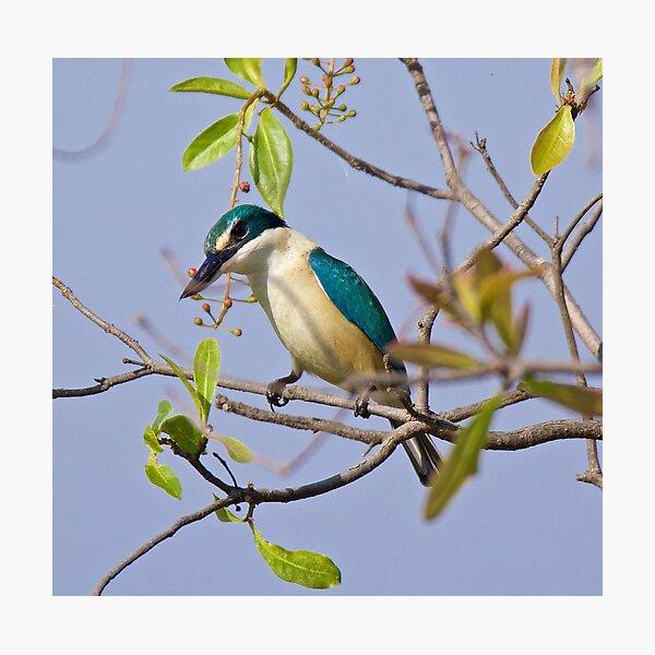 NT ~ KINGFISHER ~ Sacred Kingfisher by David Irwin 071119 Photographic Print