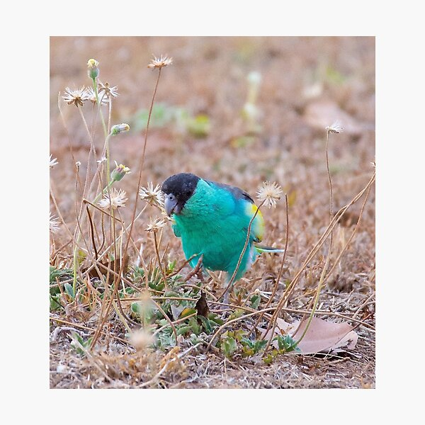 NT ~ PARROT ~ Hooded Parrot by David Irwin 071119 Photographic Print