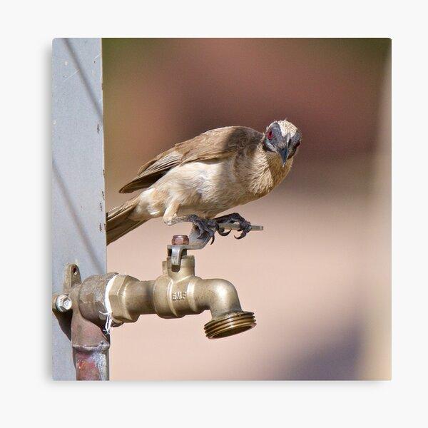 NT ~ FRIARBIRD ~ Little Friarbird by David Irwin 071119 Canvas Print