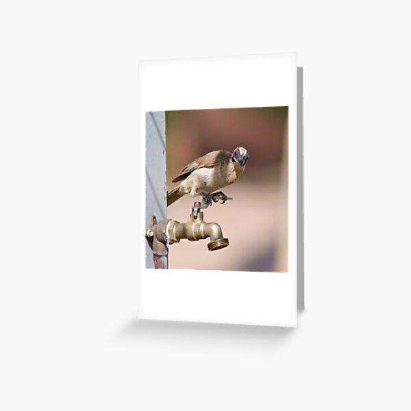 NT ~ FRIARBIRD ~ Little Friarbird by David Irwin 071119 Greeting Card
