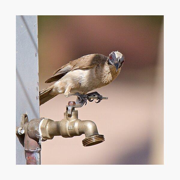 NT ~ FRIARBIRD ~ Little Friarbird by David Irwin 071119 Photographic Print
