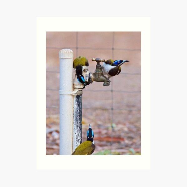 NT ~ HONEYEATER ~ Blue-faced Honeyeater by David Irwin 071119 Art Print