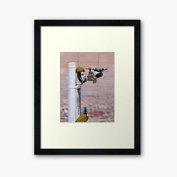NT ~ HONEYEATER ~ Blue-faced Honeyeater AQ7PCN9h by David Irwin 071119 Framed Art Print