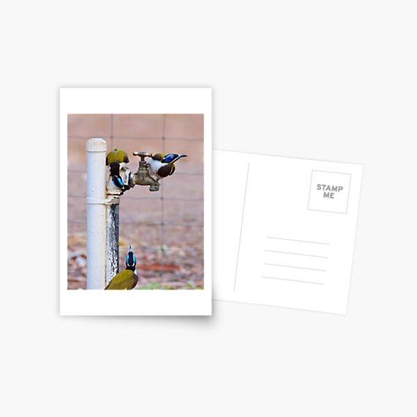 NT ~ HONEYEATER ~ Blue-faced Honeyeater by David Irwin 071119 Postcard
