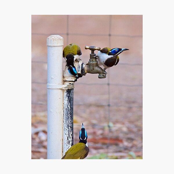 NT ~ HONEYEATER ~ Blue-faced Honeyeater by David Irwin 071119 Photographic Print