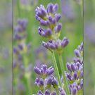 Lavender from Brittany by Lynn Bolt