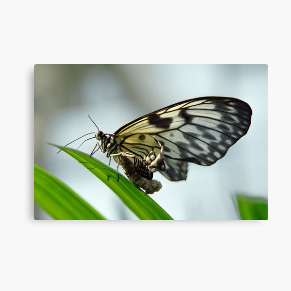 Birth of a butterfly 2 Canvas Print