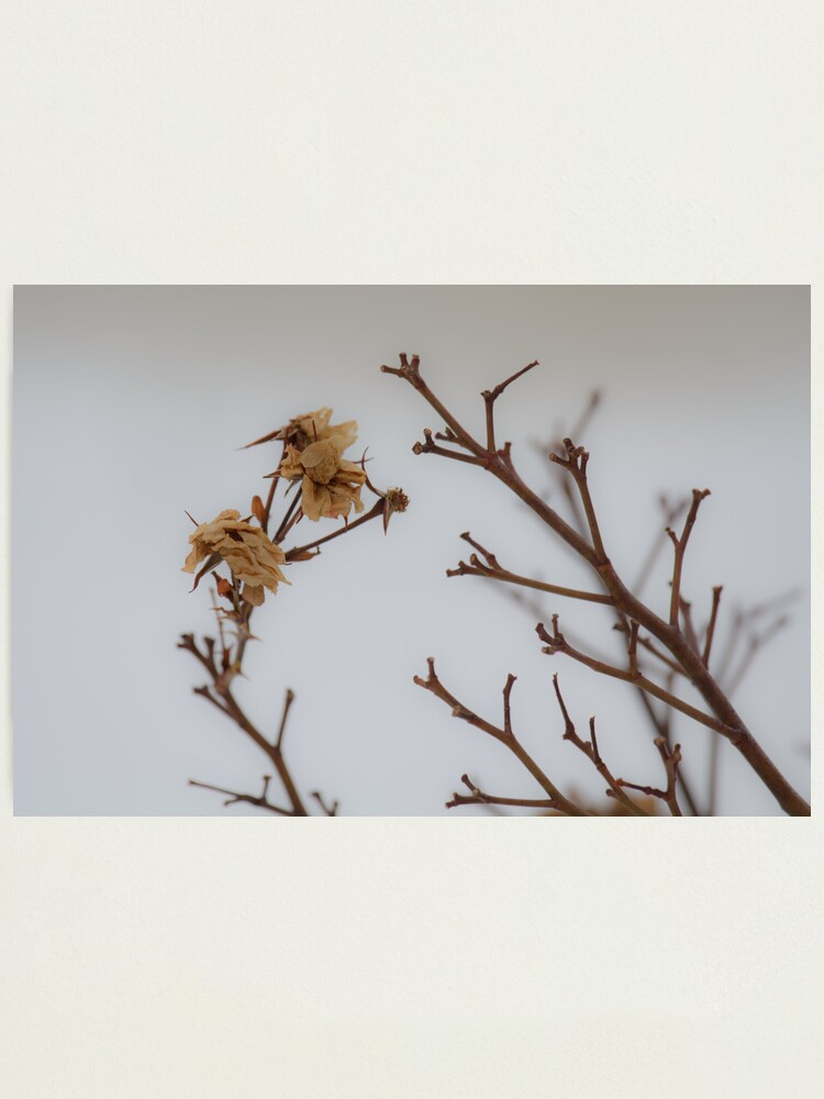 Alternate view of Winter Roses Photographic Print