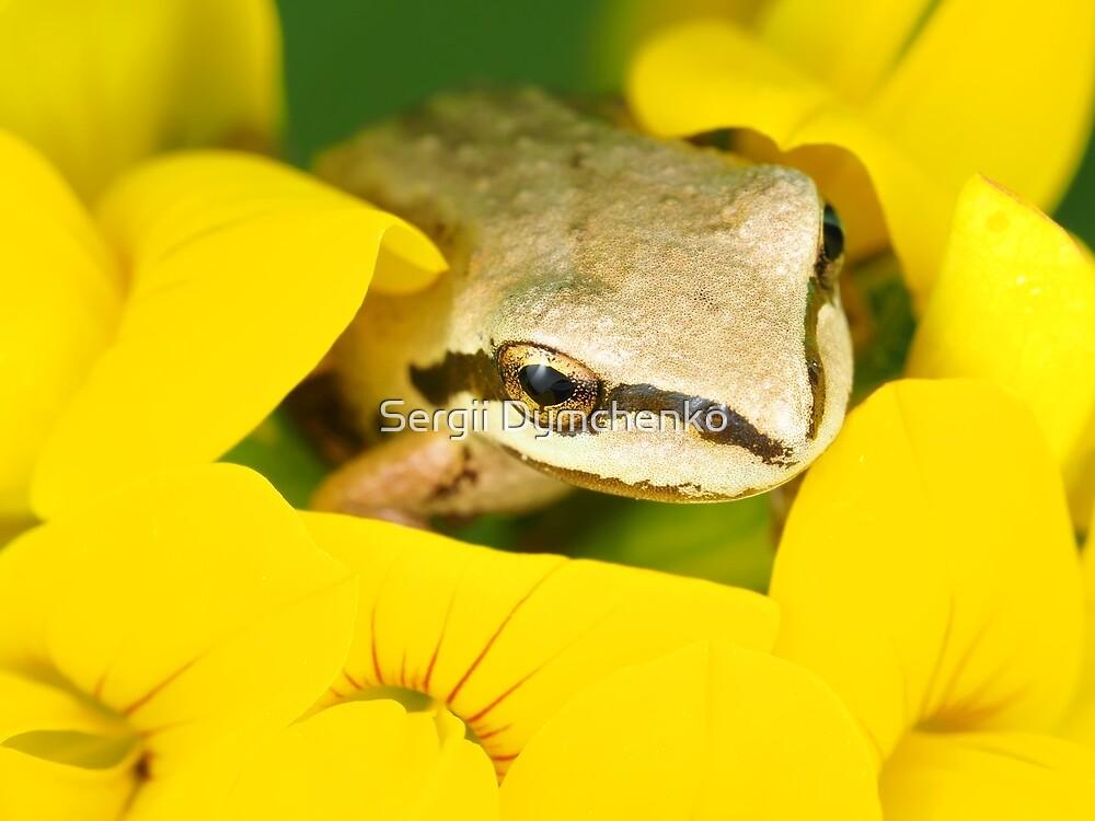 Tiny Pacific tree frog (Pseudacris regilla) sitting in a flower by Sergii Dymchenko