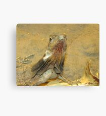 Frilled neck lizard, Australia Canvas Print