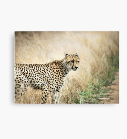 A MOMENT IN TIME - THE CHEETAH Canvas Print
