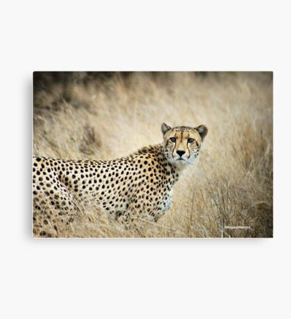 A MOMENT IN TIME - THE CHEETAH - Acinonyx jubatus Canvas Print
