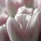 Sugar Sweet Tulip by Bob Daalder
