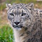 Snow Leopard by HelenBeresford