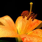 Lily & Drops. by Vitta