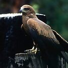 Black Kite by Eve Parry