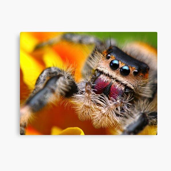 Phidippus Regius Cute Jumping Spider  Canvas Print