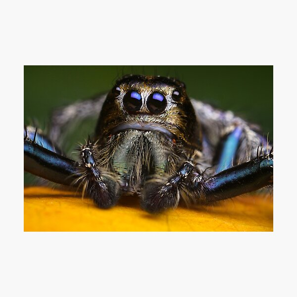 Cute Jumping Spider macro Of Hyllus male Photographic Print