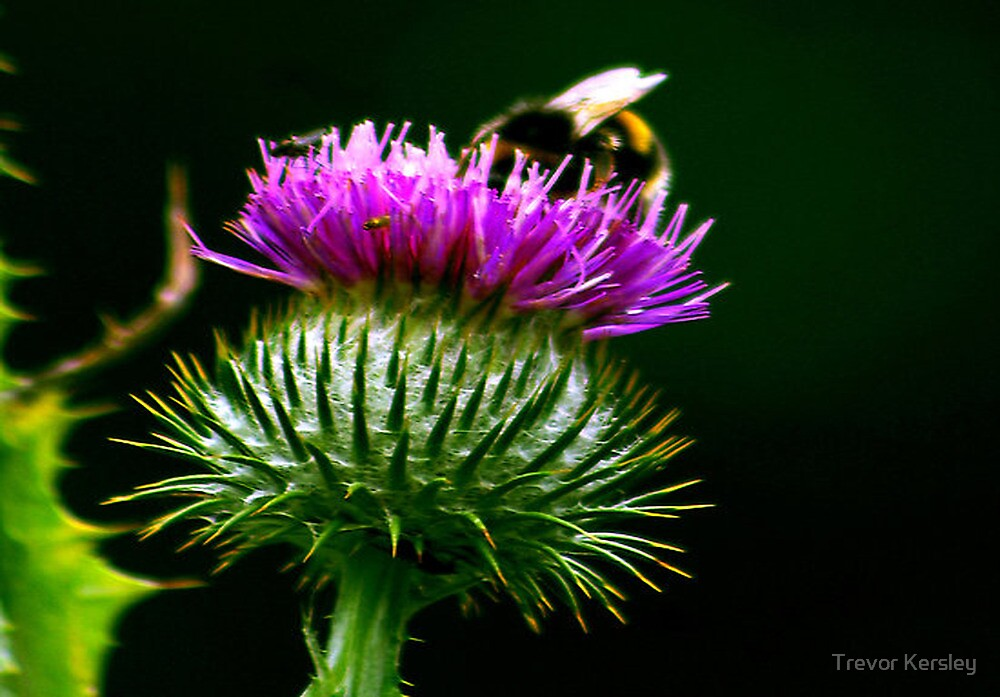 Thistle & Bee by Trevor Kersley