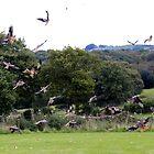 Red kites en masse by missmoneypenny