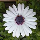 Big White Flower by Hucksty