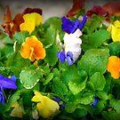 Springtime Pansies by Monica M. Scanlan