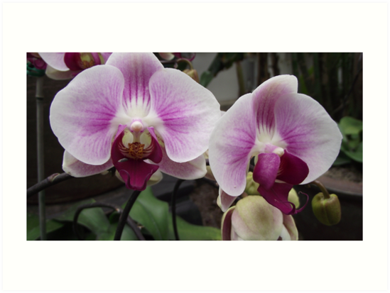 purple orchids by endomental Artistry