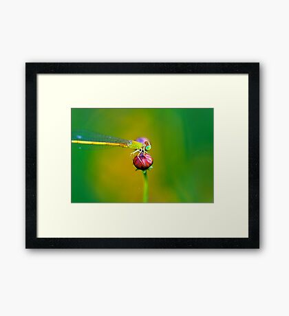 Damselfly and The Bud Framed Print