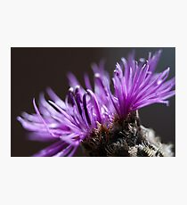Greater Knapweed Photographic Print