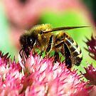Honey Bee on Sedum Flowers by Bev Pascoe