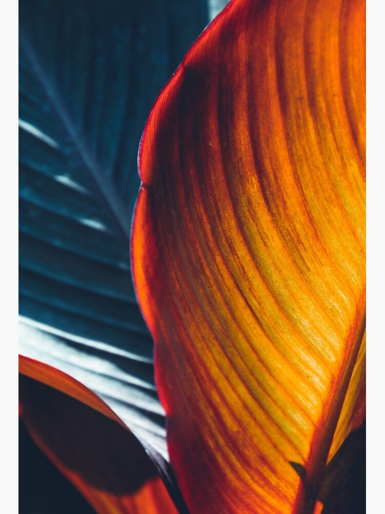 Texture Of Red Tropical Leaves Close Up Art Board Print By Tilimili13 Redbubble Tropical palm leaf in sunlight with light in botanic garden green isolated nature color environment growth leaves plant tree botanical beautiful beauty exotic forest natural close up slow motion. redbubble