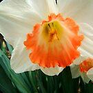 Daffodil © by Dawn Becker