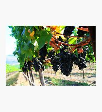 Fiddlestix Vineyard Photographic Print