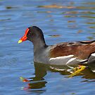 Common Moorhen by naturalnomad