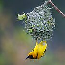Village Weaver by naturalnomad